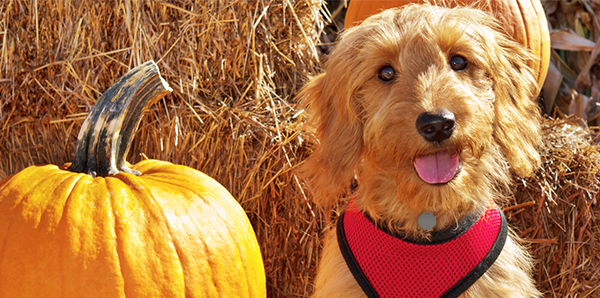 A golden dog with a red harness sitting in front of hay, next to pumpkins.